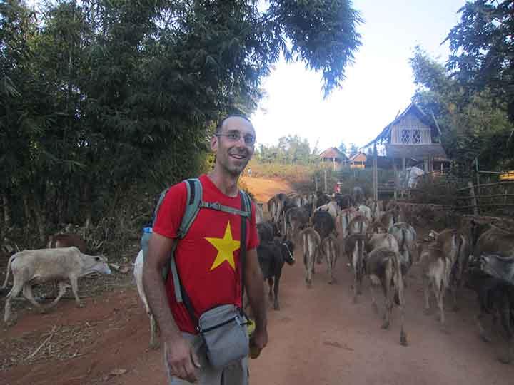 Vacche sul percorso